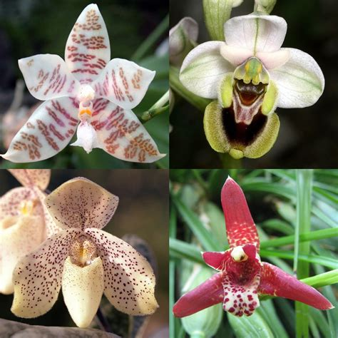 Orchidee – Wiktionary